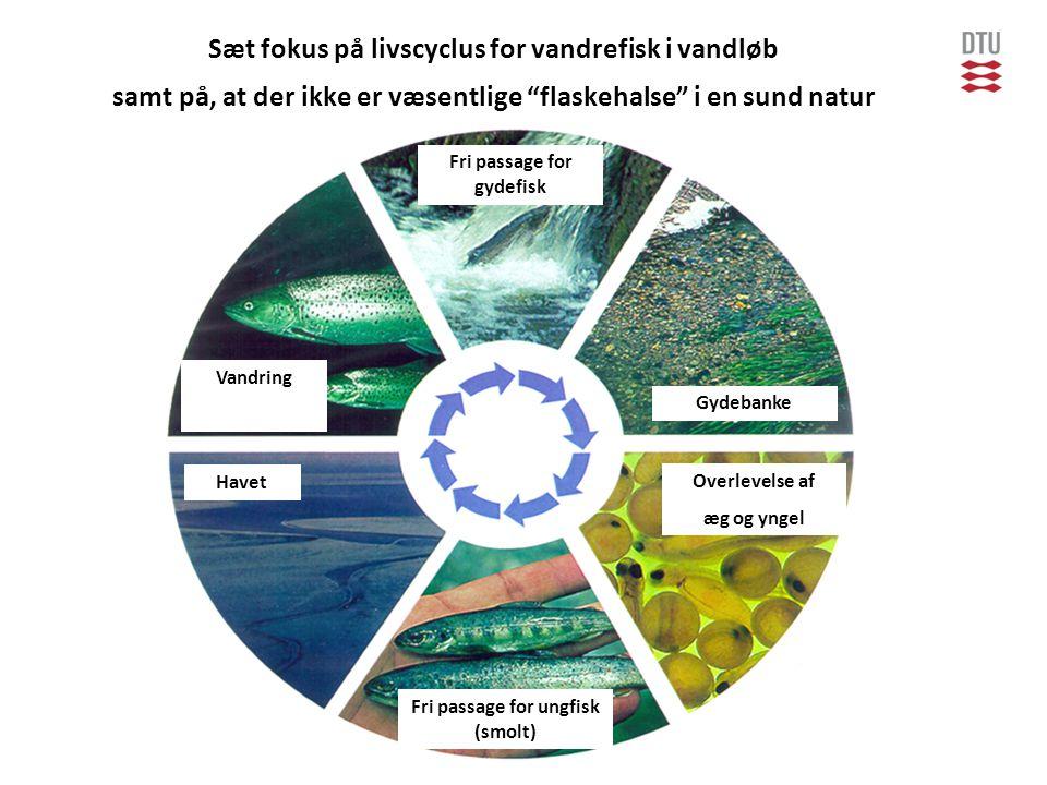 Sæt fokus på livscyclus for vandrefisk i vandløb