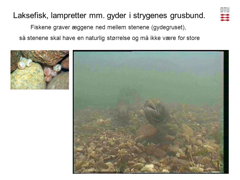 Laksefisk, lampretter mm. gyder i strygenes grusbund.