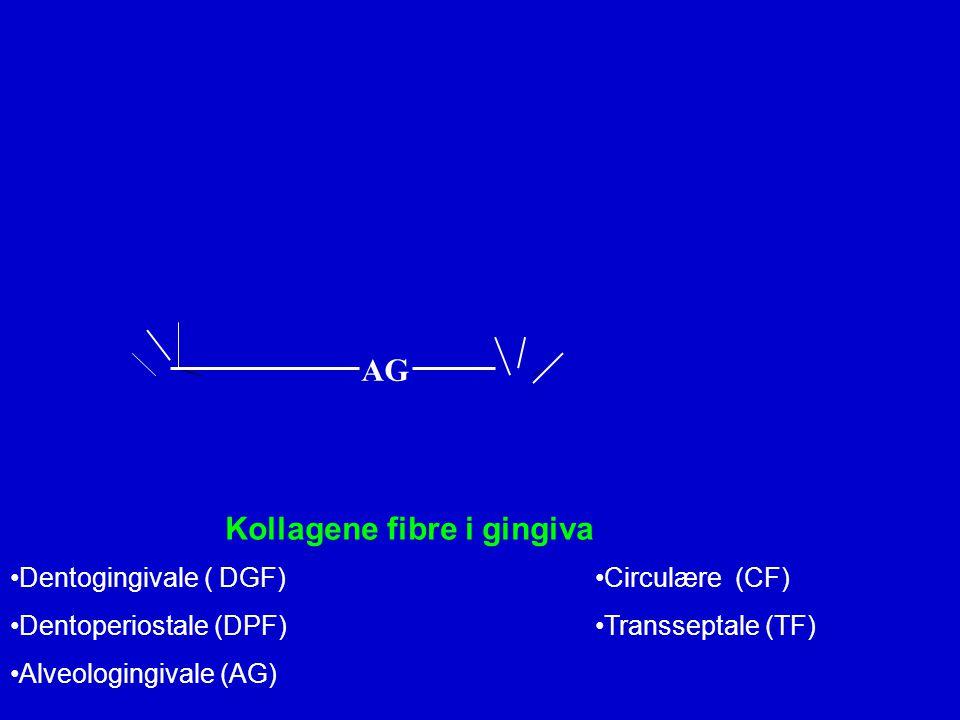 Kollagene fibre i gingiva