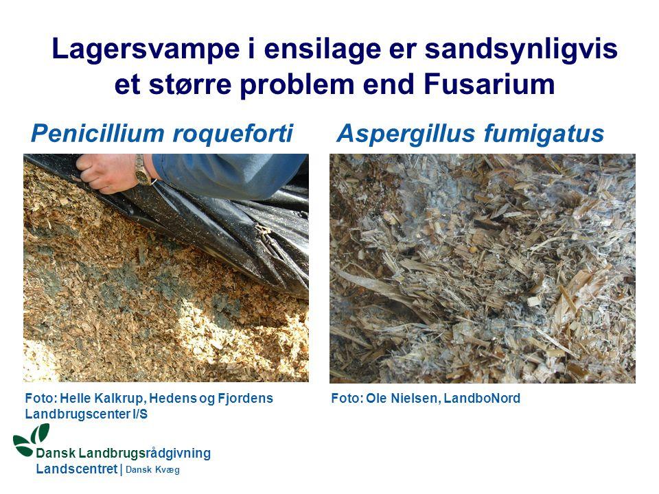 Lagersvampe i ensilage er sandsynligvis et større problem end Fusarium
