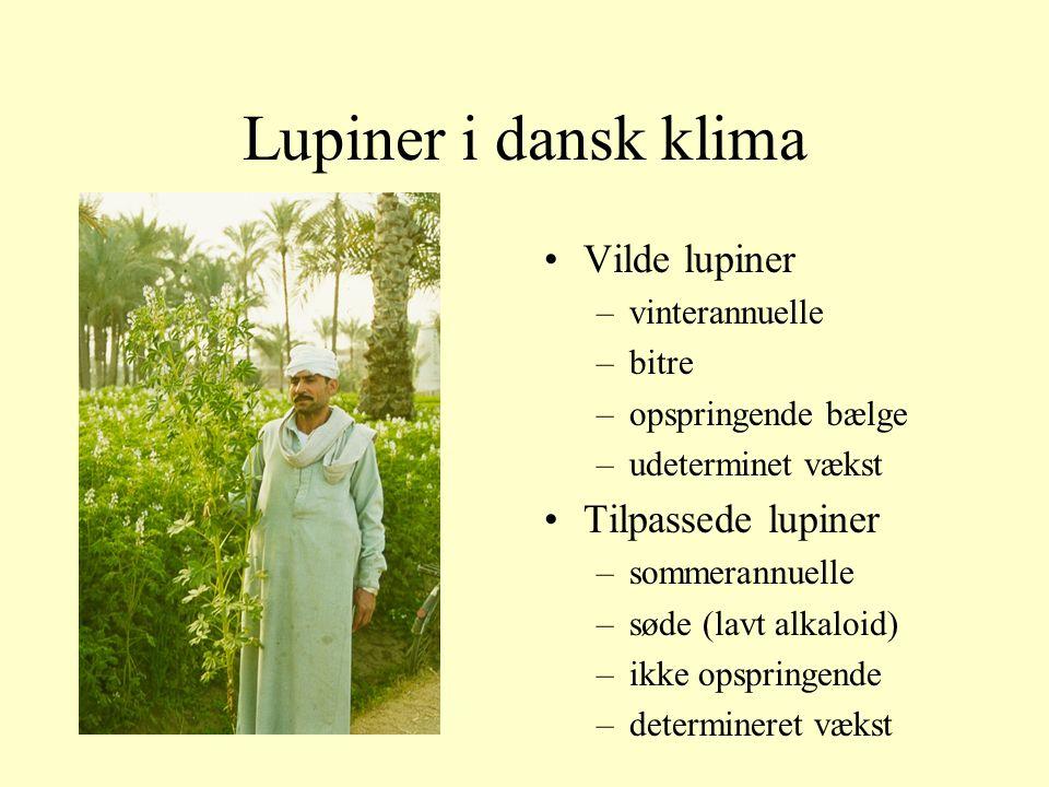 Lupiner i dansk klima Vilde lupiner Tilpassede lupiner vinterannuelle