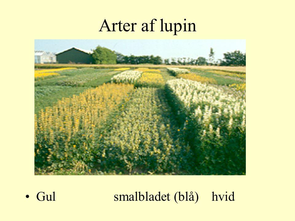Arter af lupin Gul smalbladet (blå) hvid