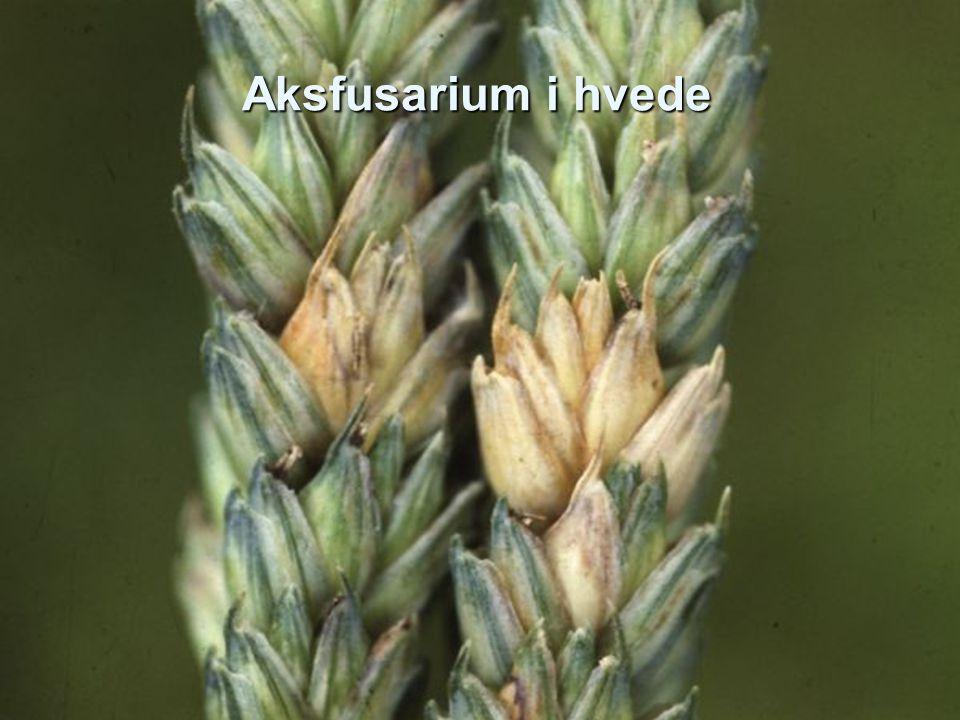 Aksfusarium i hvede