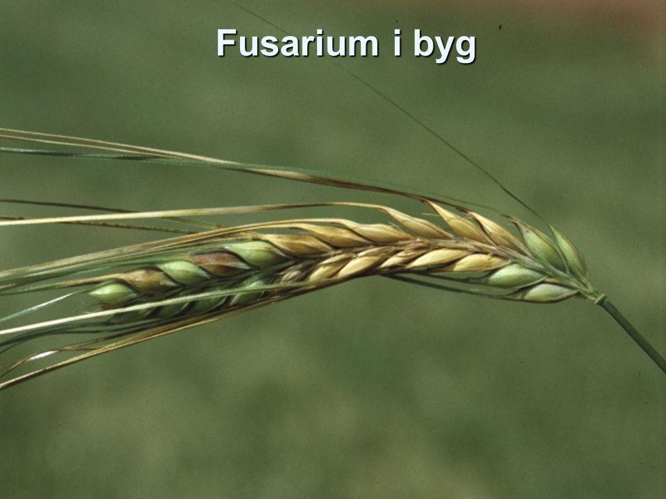Fusarium i byg