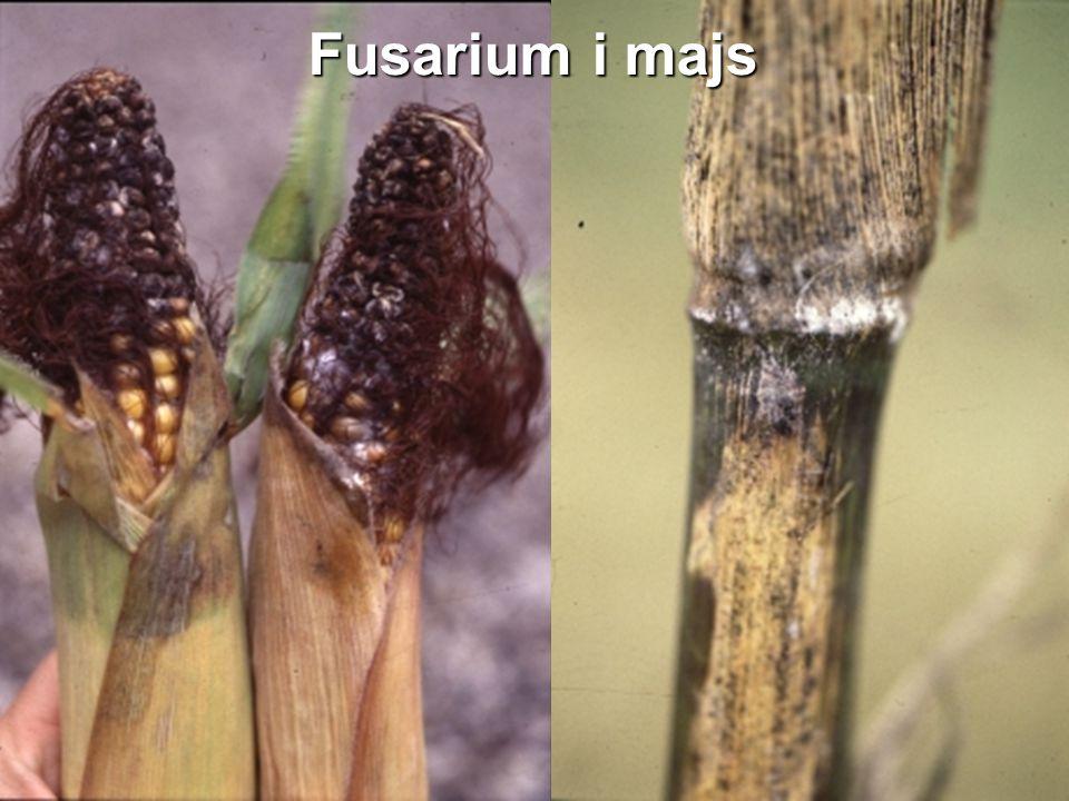 Fusarium i majs