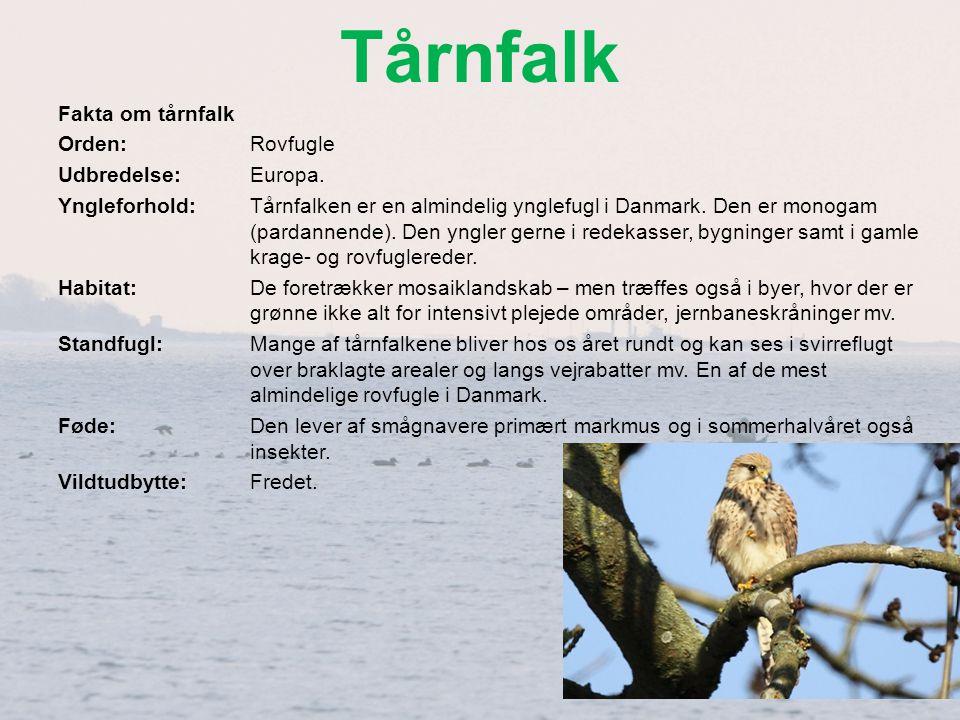 Tårnfalk Fakta om tårnfalk Orden: Rovfugle Udbredelse: Europa.