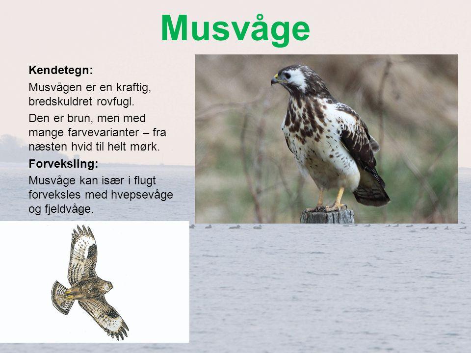 Musvåge Kendetegn: Musvågen er en kraftig, bredskuldret rovfugl.