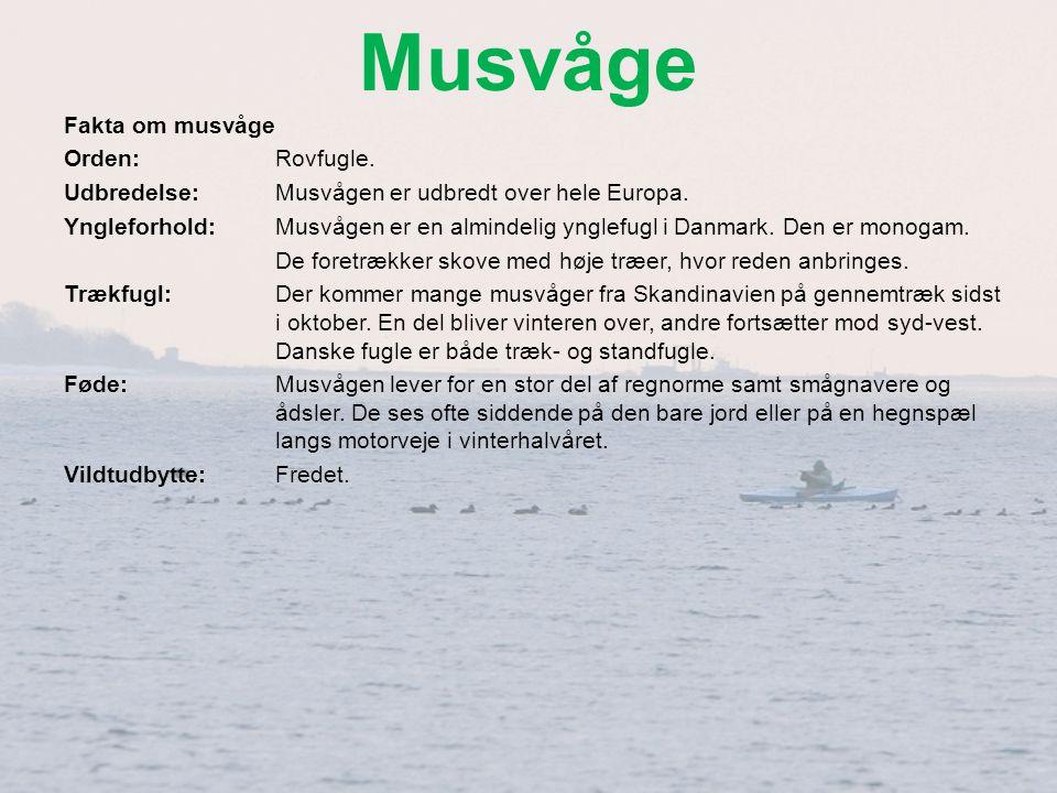 Musvåge Fakta om musvåge Orden: Rovfugle.