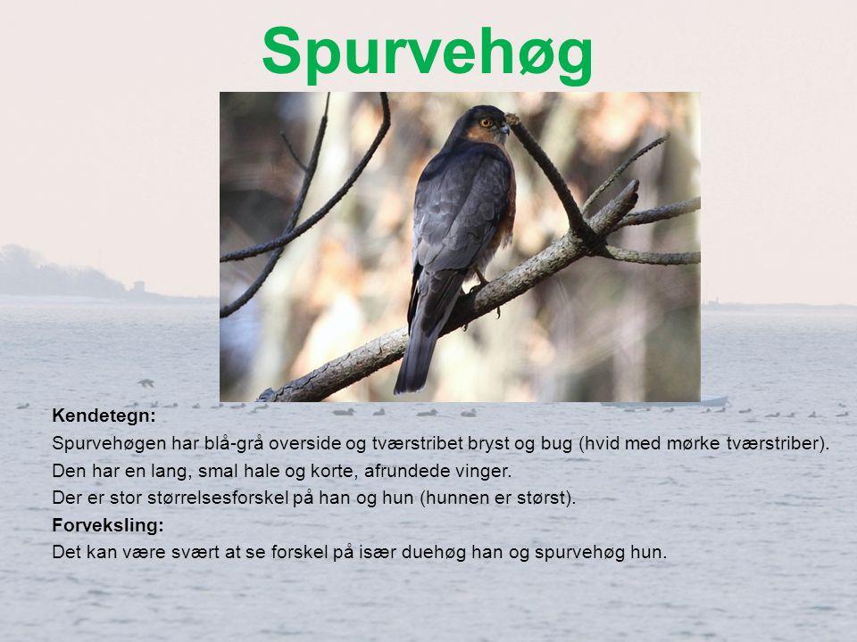 Spurvehøg Kendetegn: Spurvehøgen har blå-grå overside og tværstribet bryst og bug (hvid med mørke tværstriber).