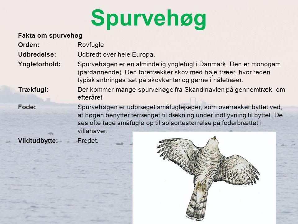 Spurvehøg Fakta om spurvehøg Orden: Rovfugle