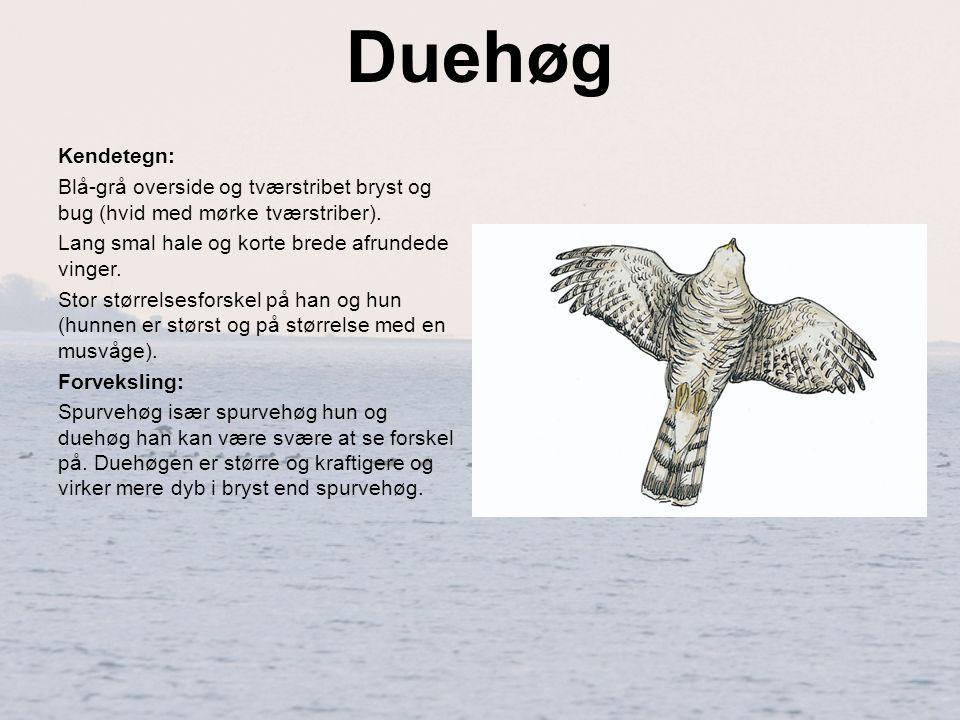 Duehøg Kendetegn: Blå-grå overside og tværstribet bryst og bug (hvid med mørke tværstriber). Lang smal hale og korte brede afrundede vinger.