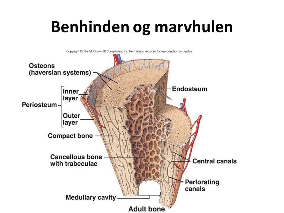 Benhinden og marvhulen