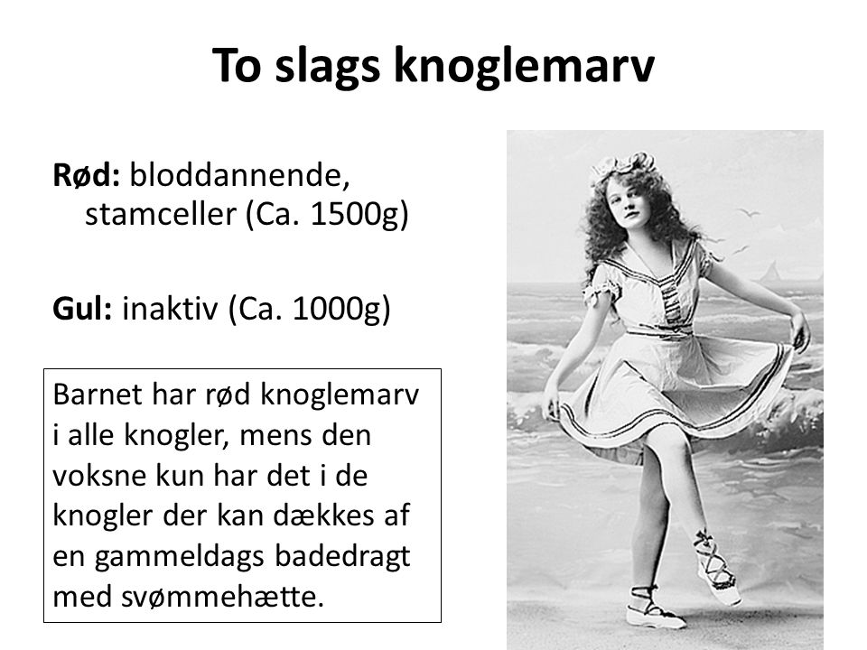To slags knoglemarv Rød: bloddannende, stamceller (Ca. 1500g) Gul: inaktiv (Ca. 1000g)