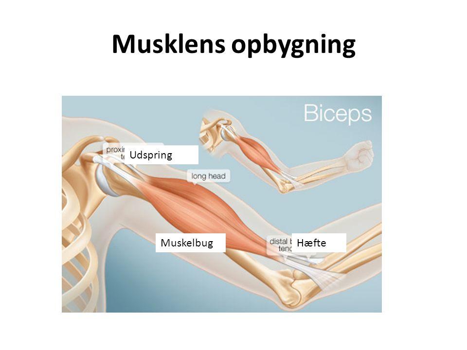 Musklens opbygning Udspring Muskelbug Hæfte
