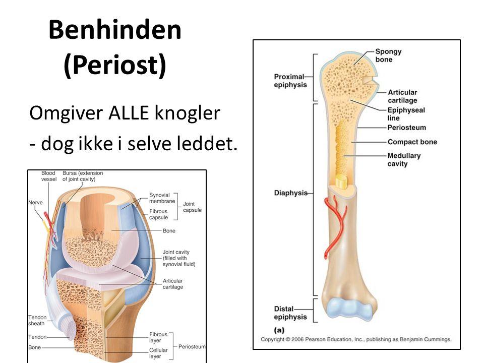 Benhinden (Periost) Omgiver ALLE knogler - dog ikke i selve leddet.
