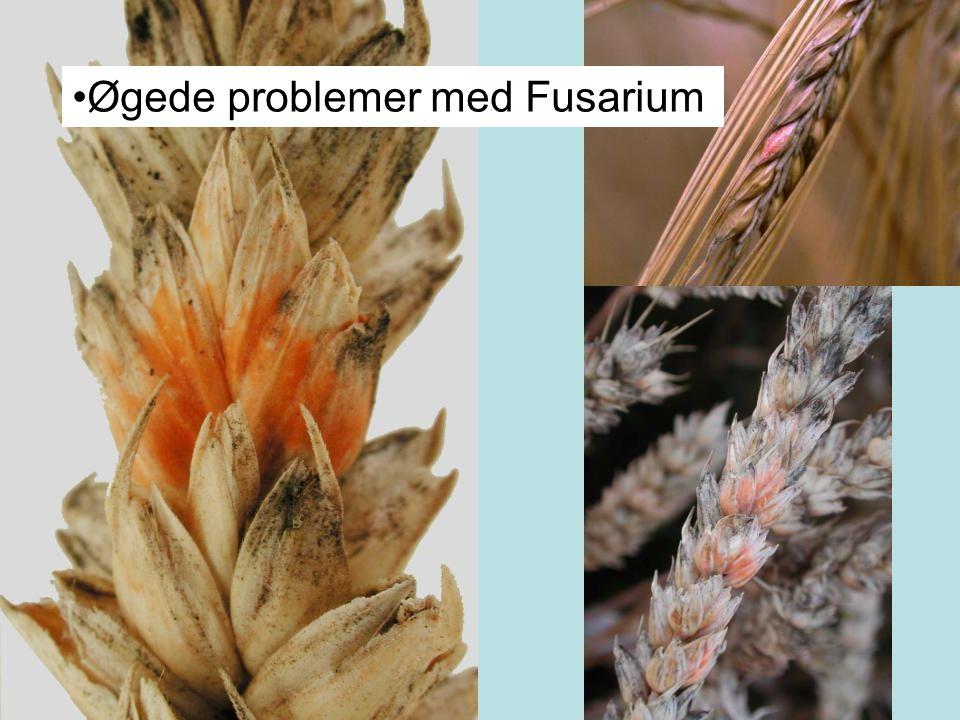 Øgede problemer med Fusarium