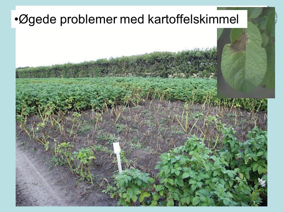 Øgede problemer med kartoffelskimmel