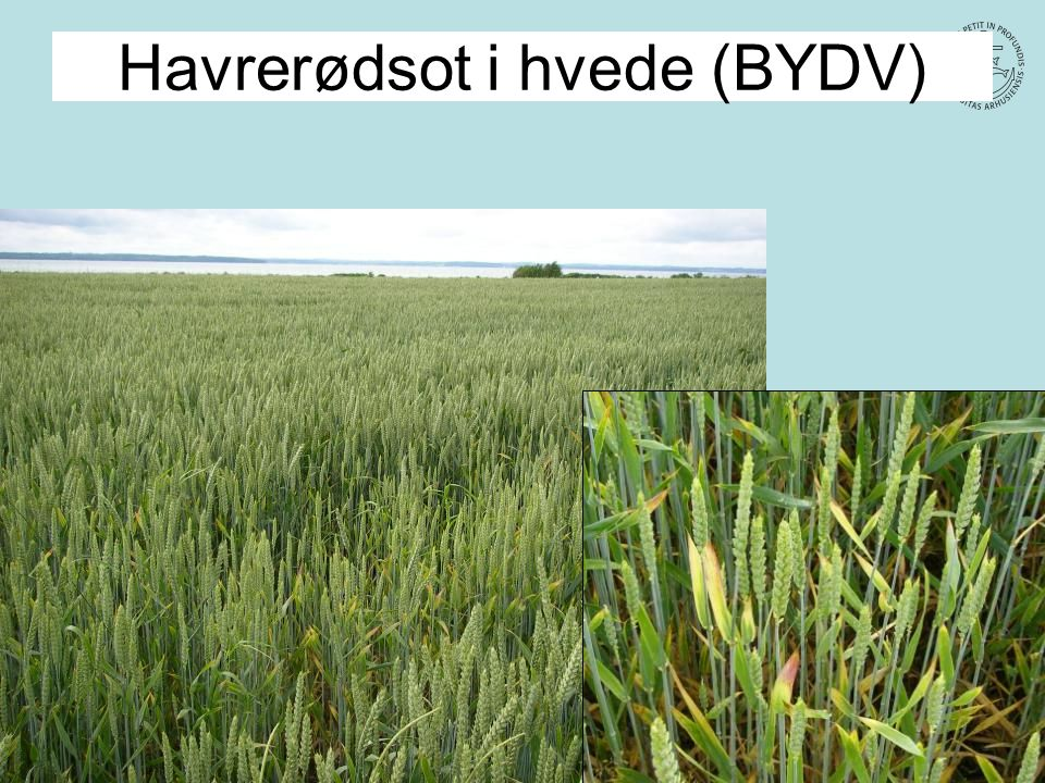 Havrerødsot i hvede (BYDV)