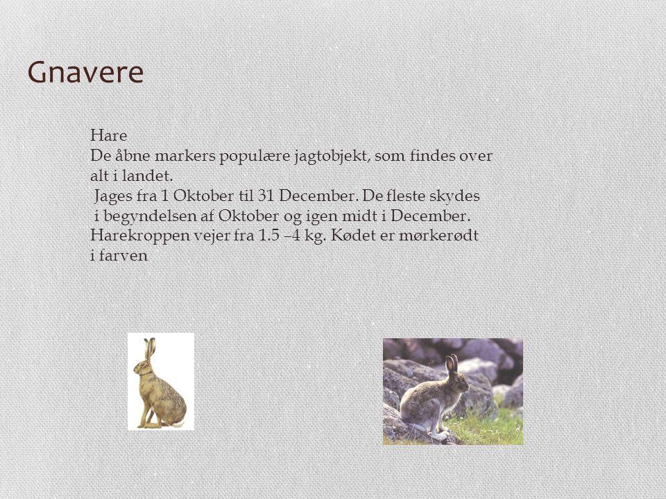 Gnavere Hare De åbne markers populære jagtobjekt, som findes over