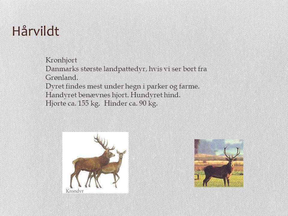 Hårvildt Kronhjort Danmarks største landpattedyr, hvis vi ser bort fra
