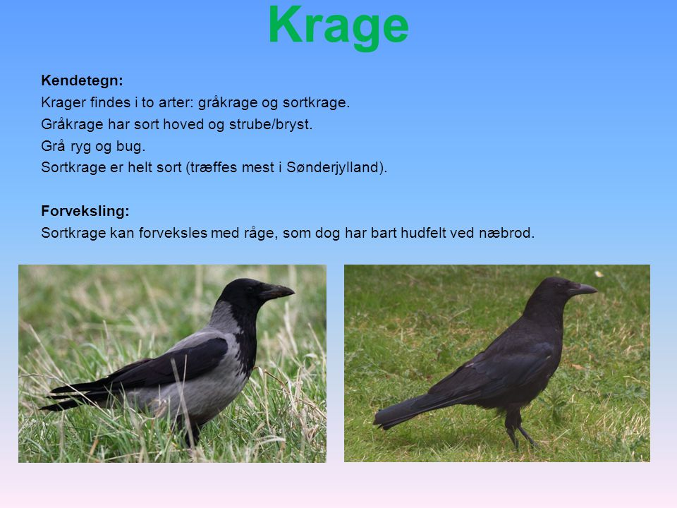 Krage Kendetegn: Krager findes i to arter: gråkrage og sortkrage.