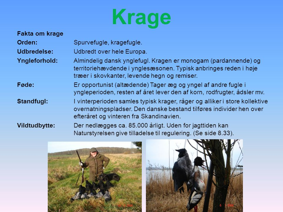 Krage Fakta om krage Orden: Spurvefugle, kragefugle.