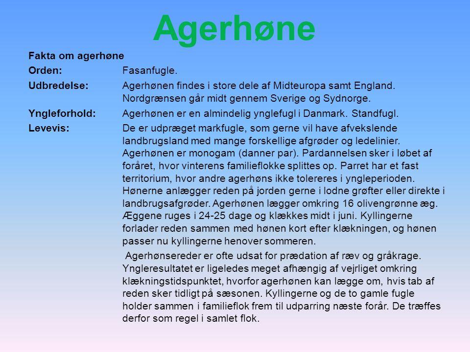 Agerhøne Fakta om agerhøne Orden: Fasanfugle.