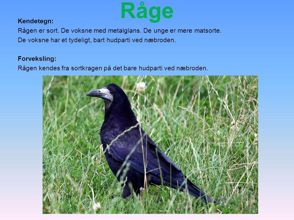 Råge Kendetegn: Rågen er sort. De voksne med metalglans. De unge er mere matsorte. De voksne har et tydeligt, bart hudparti ved næbroden.