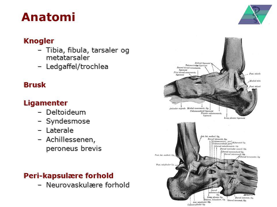 Anatomi Knogler Tibia, fibula, tarsaler og metatarsaler