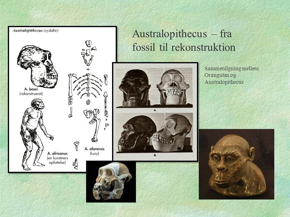 Australopithecus – fra fossil til rekonstruktion