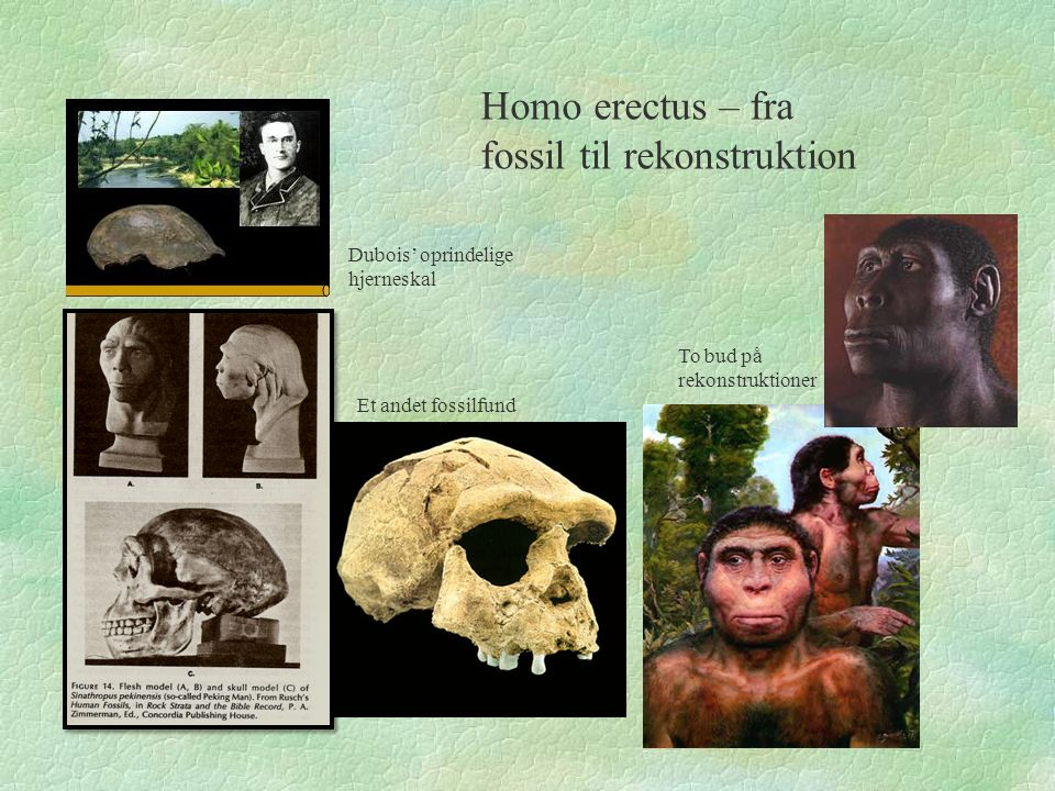 Homo erectus – fra fossil til rekonstruktion