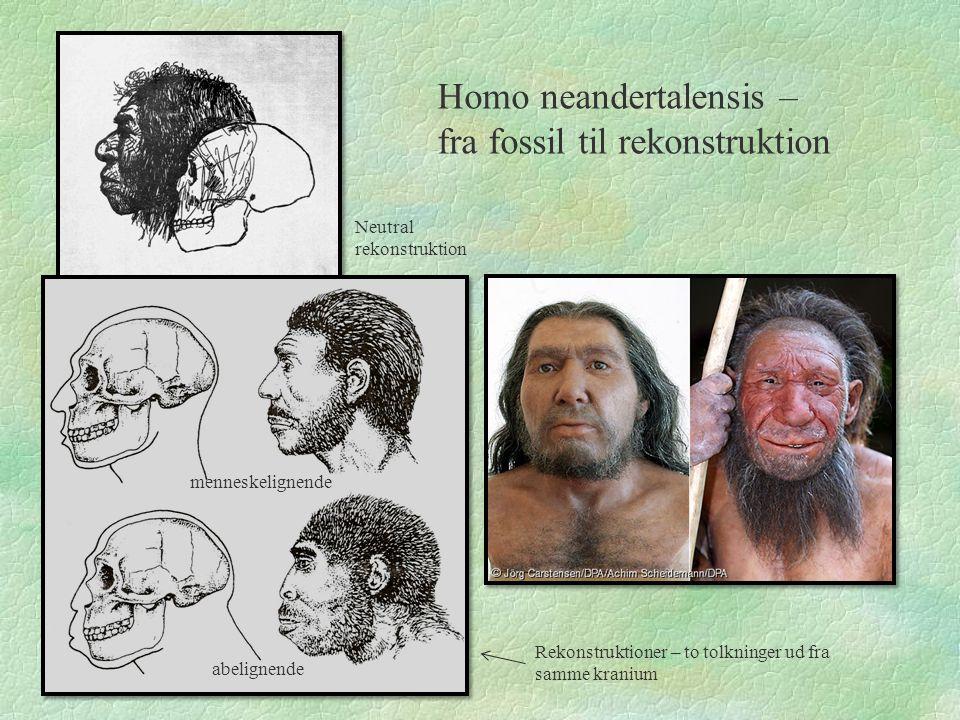 Homo neandertalensis – fra fossil til rekonstruktion