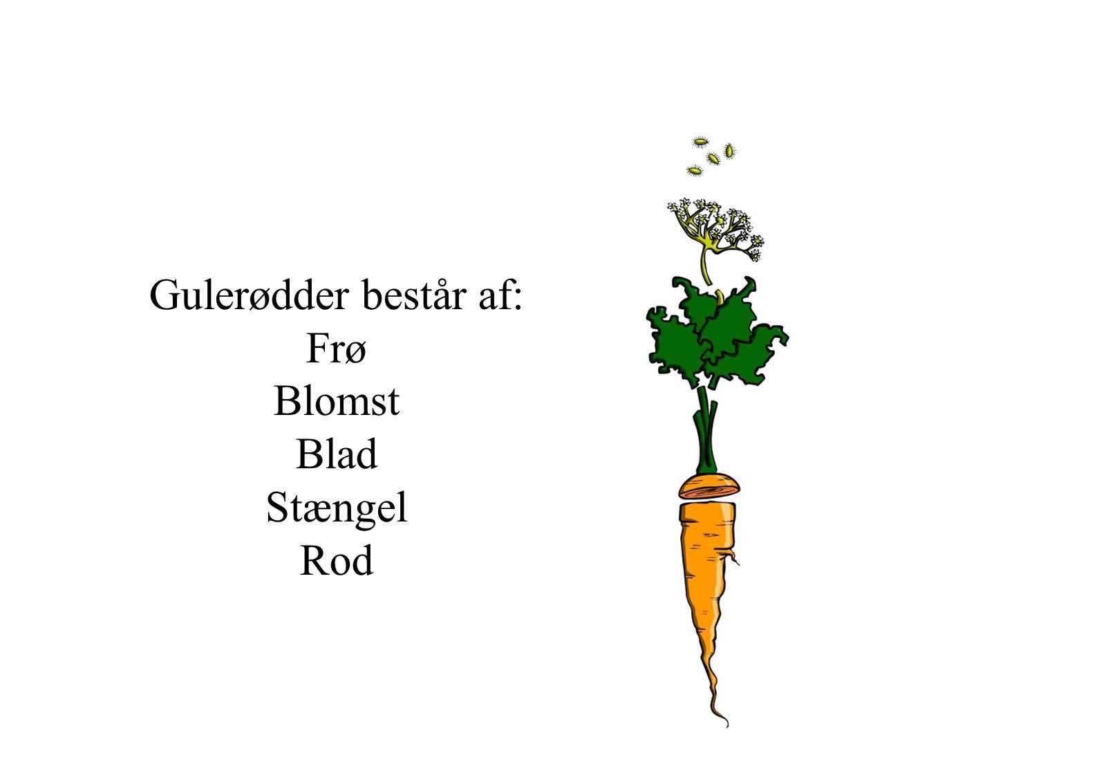 Gulerødder består af: Frø Blomst Blad Stængel Rod