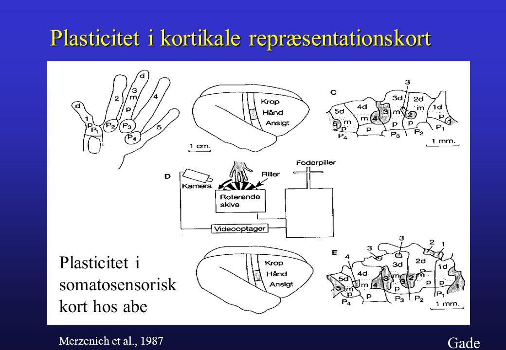 Plasticitet i kortikale repræsentationskort