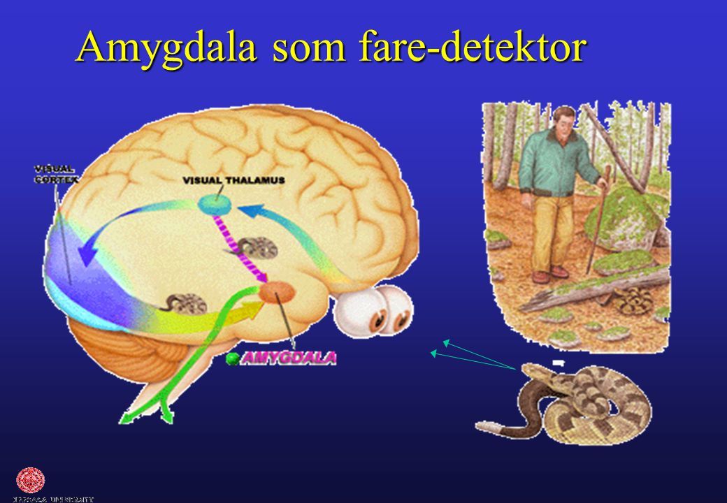 Amygdala som fare-detektor