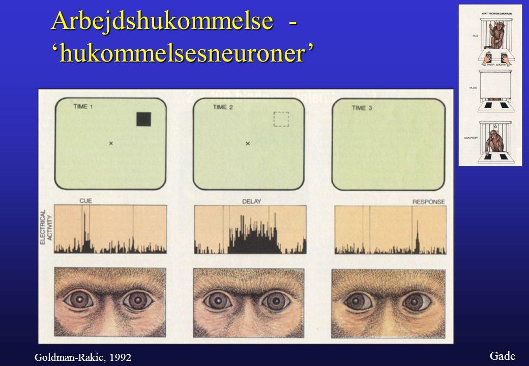 'hukommelsesneuroner'