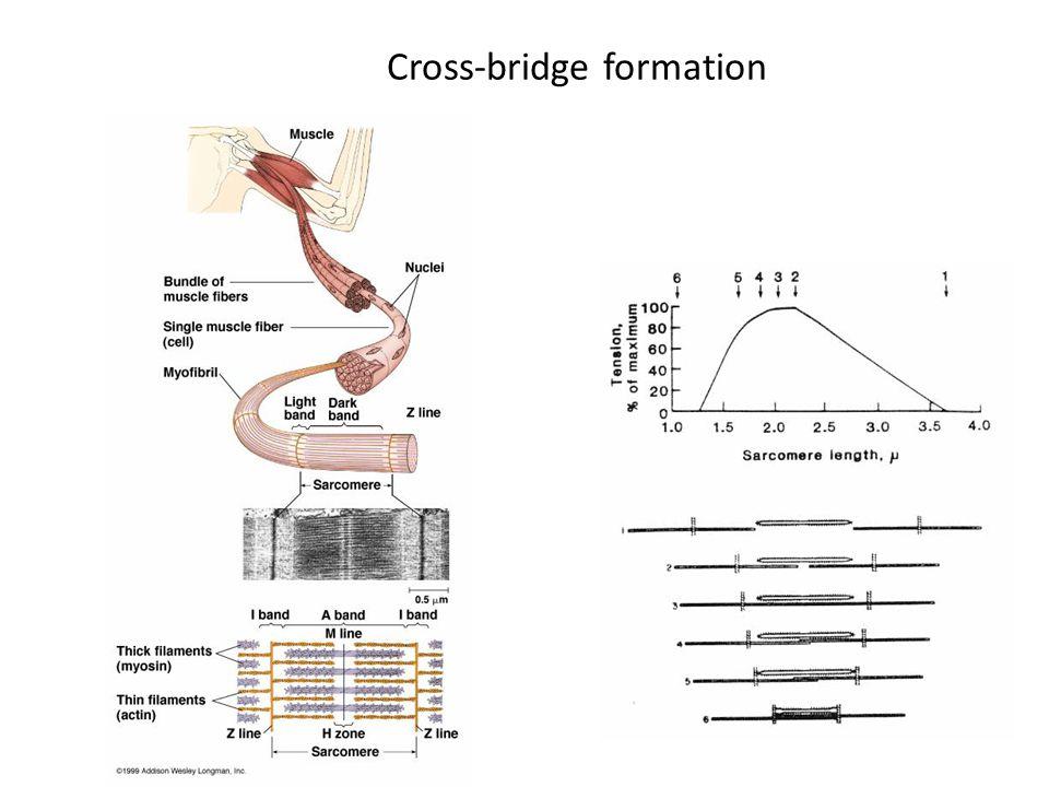 Cross-bridge formation