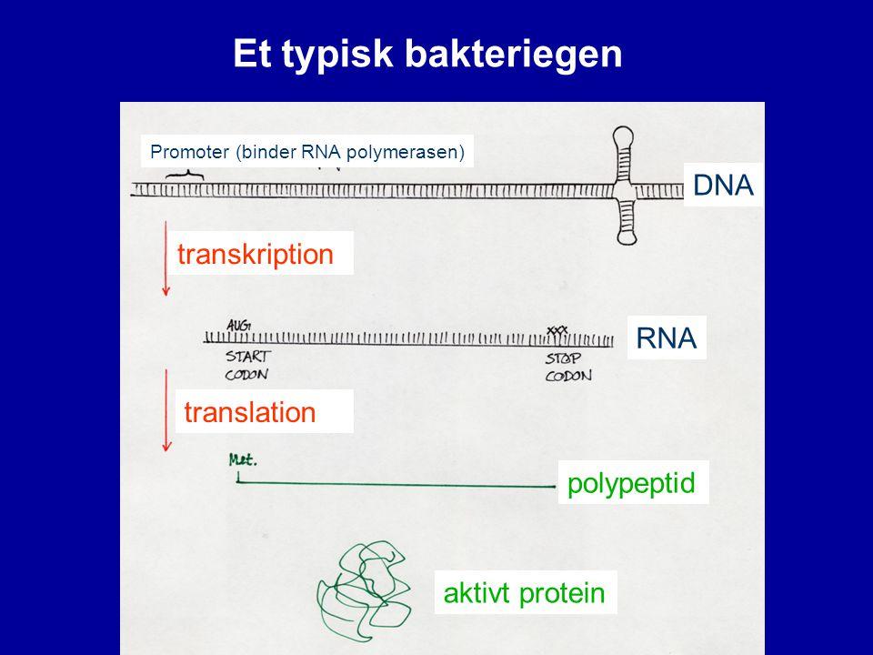 Et typisk bakteriegen DNA transkription RNA translation polypeptid