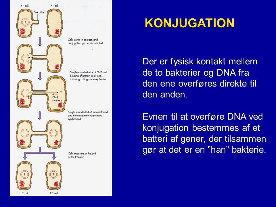 KONJUGATION Der er fysisk kontakt mellem de to bakterier og DNA fra
