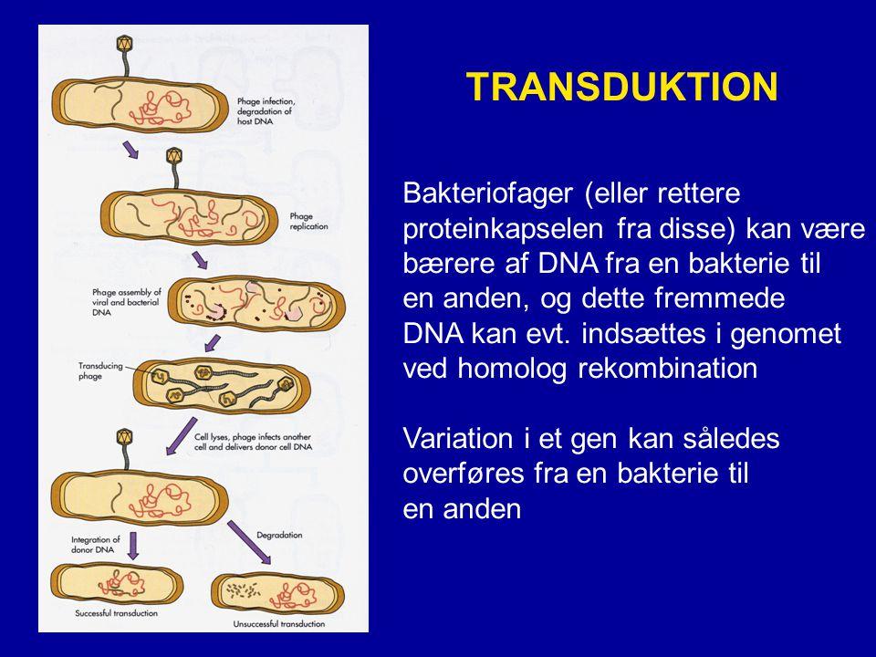 TRANSDUKTION Bakteriofager (eller rettere