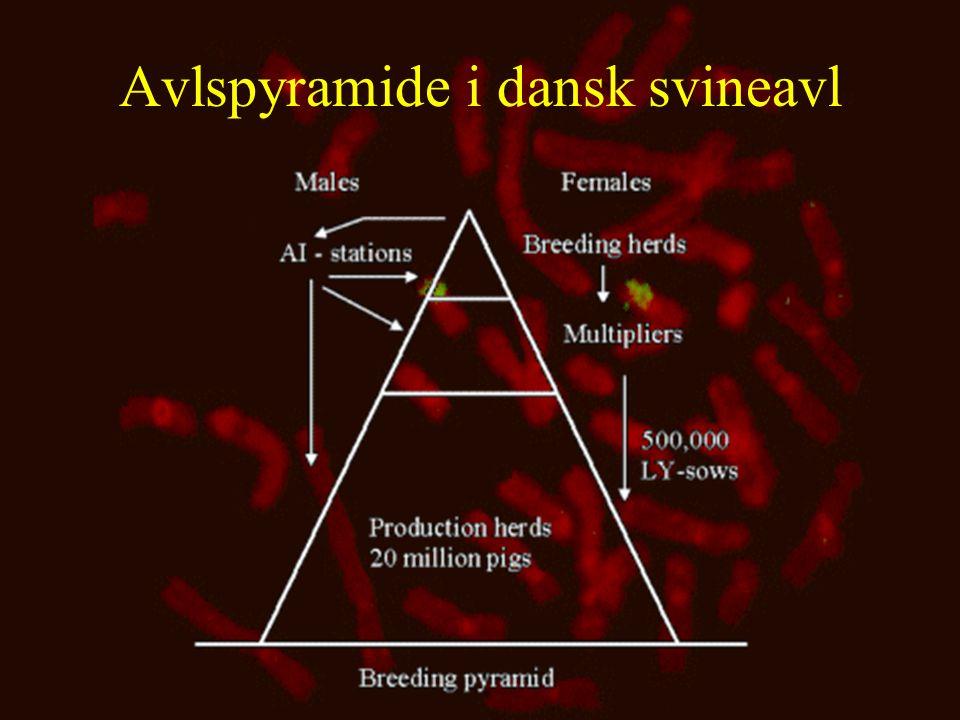 Avlspyramide i dansk svineavl