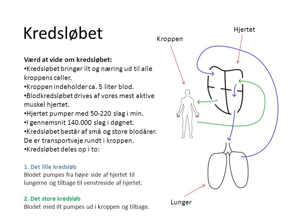 Kredsløbet Hjertet Kroppen Værd at vide om kredsløbet: