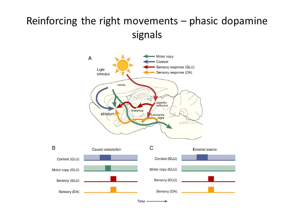 Reinforcing the right movements – phasic dopamine signals