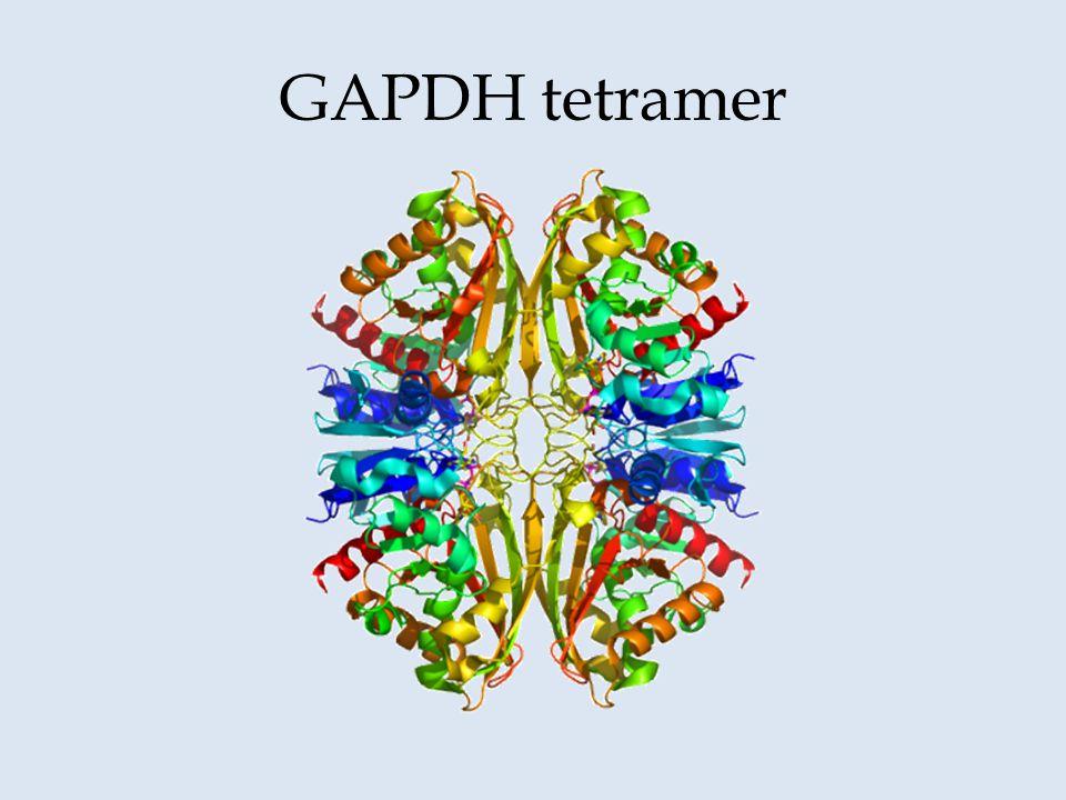 GAPDH tetramer