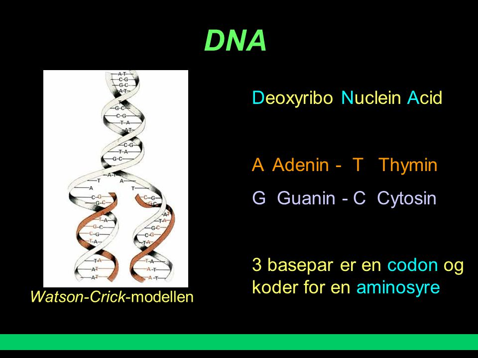DNA Deoxyribo Nuclein Acid A Adenin - T Thymin G Guanin - C Cytosin