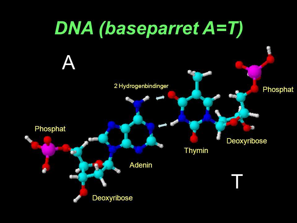 A T DNA (baseparret A=T) Phosphat Phosphat Deoxyribose Thymin Adenin