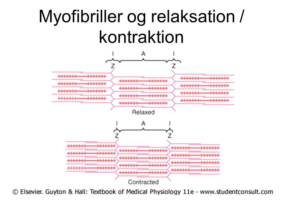 Myofibriller og relaksation / kontraktion