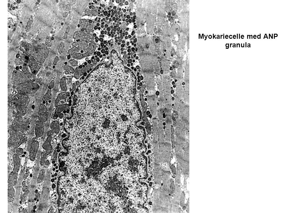 Myokariecelle med ANP granula