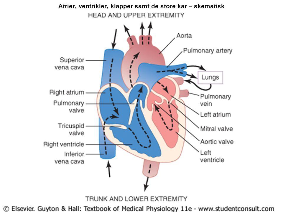 Atrier, ventrikler, klapper samt de store kar – skematisk