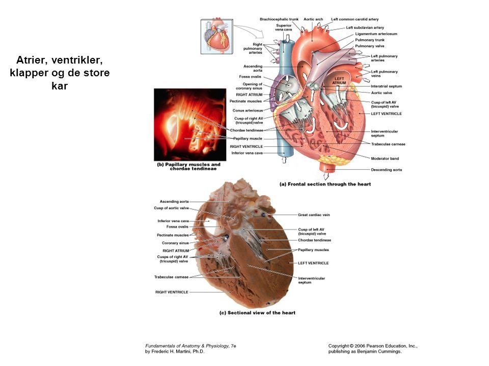 Atrier, ventrikler, klapper og de store kar